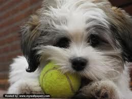 do dogs like tennis balls or chew toys best?