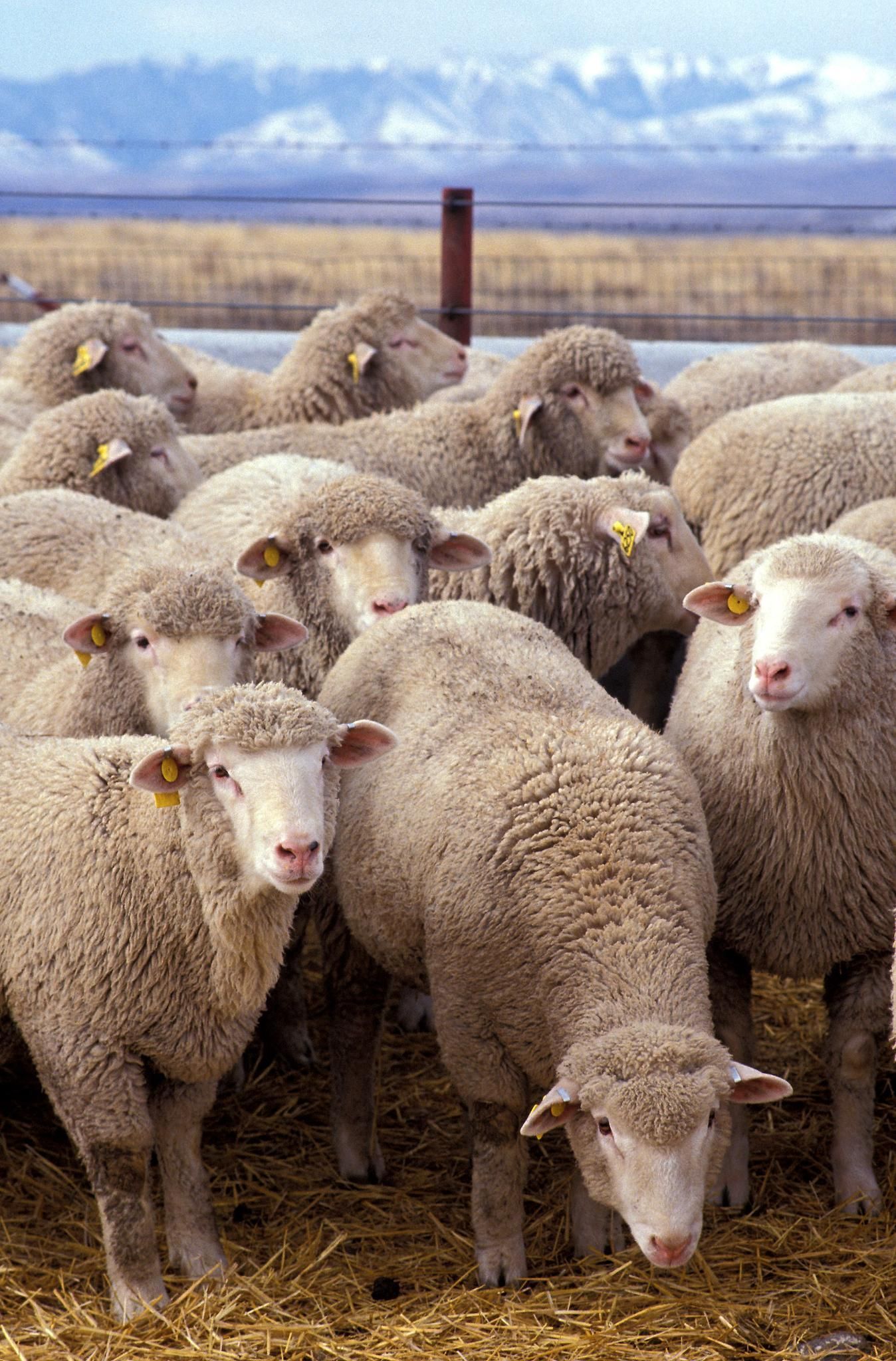 How many different kinds of sheep are there