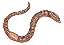 *CHALLENGE QUESTION* What is the name of the organ in an earthworm from which liquid waste is excreted?