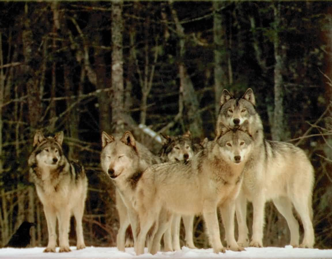 What is a group of wolfs called?