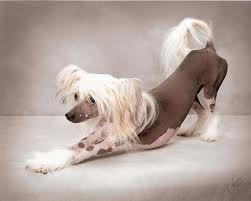 What age do chinese crested dogs live too? A-14 years B-6 years C-10-12 years