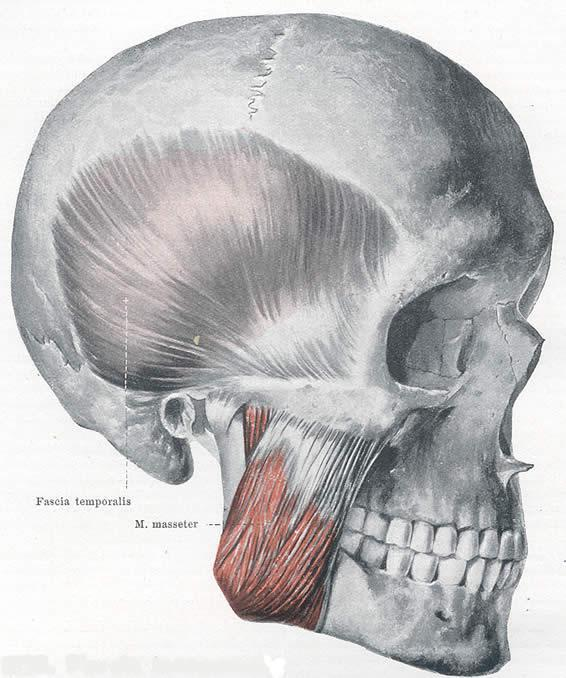 Where is the origin of the Masseter?