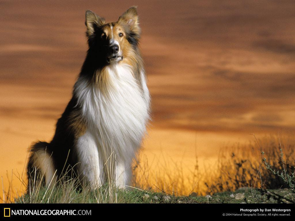 which 2 dogs arent in lassie