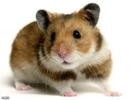 Final question! Its been a long and hard day finally its time to go to bed as you sit down you notice a little furry creature scuttling across your bed, you take a closer look its a hamster! then just underneath your bed you see a foot, your child has brought home a Hamster what do you do?