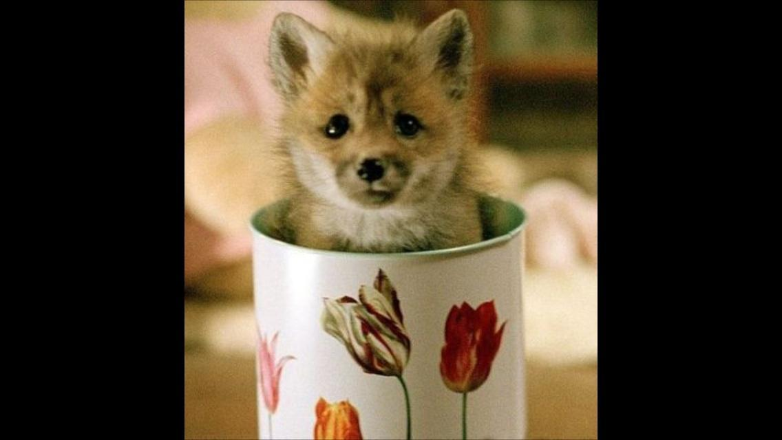 Have you ever had pet a tiny fox?