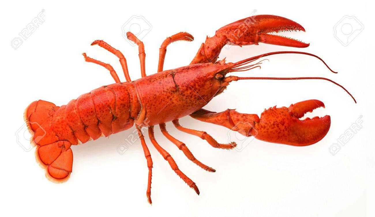 How long can some lobster species live up to?