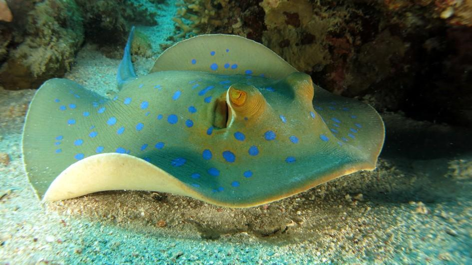 How many species of stingrays are in the world?