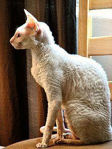 This breed is lanky and has slightly curled fur. They look a bit funny don't they c:
