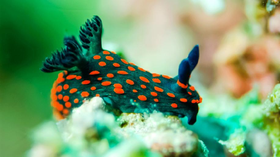 what animal is it a nudibranch?