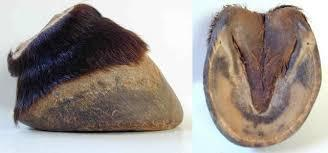 would you eat a horse hoof?