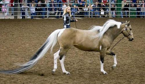 What is the record for the longest tail on a horse?
