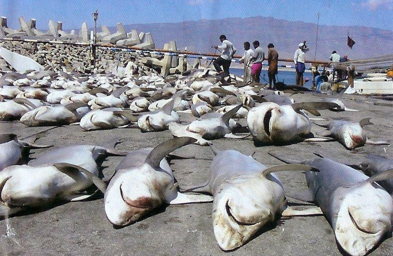 How many sharks do humans kill each year?