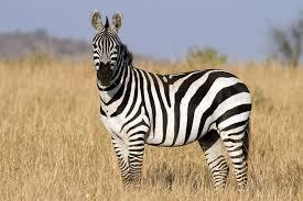 The fastest land animal in the world is the zebra.
