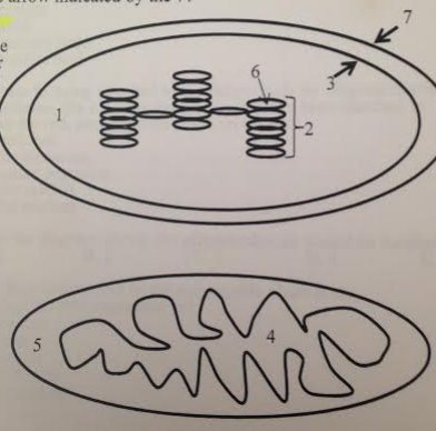 Keeping in mind the organelle depicted, how many phospholipid bilayers are between the arrow indicated by the 3 and the arrow indicated by the 7?