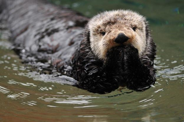 Why do sea otters hold hands when they sleep?