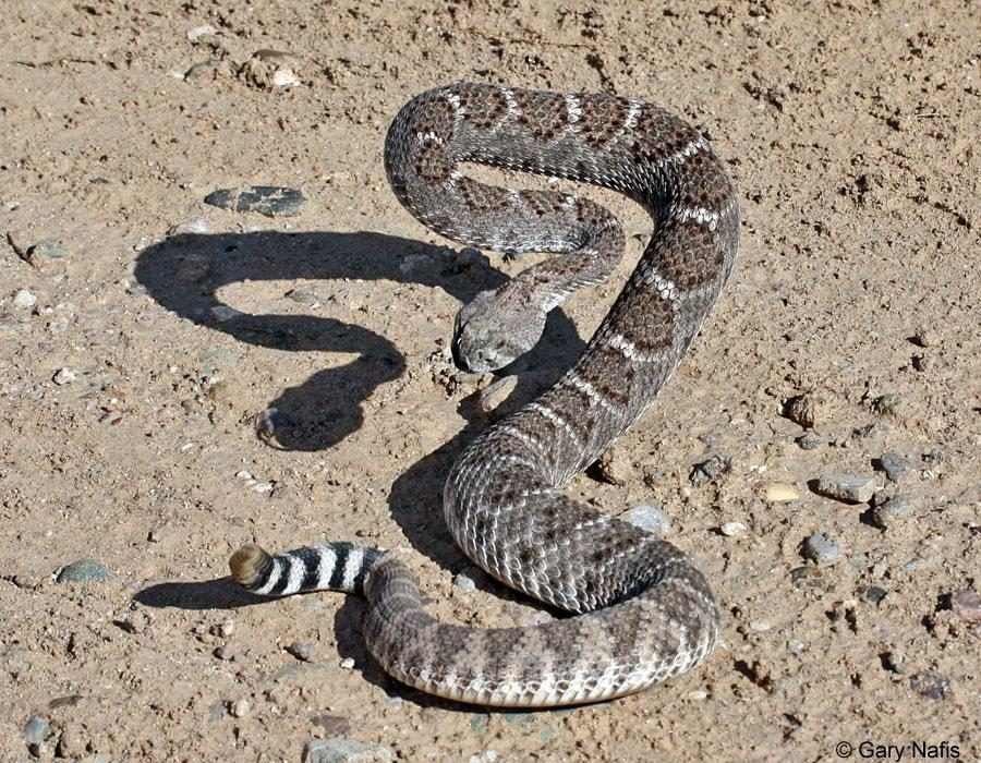 You are walking in the woods on the way home from school you see a rattle snake. What do you do?