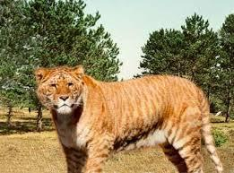 When you mix a lion and a tiger what is the species called/