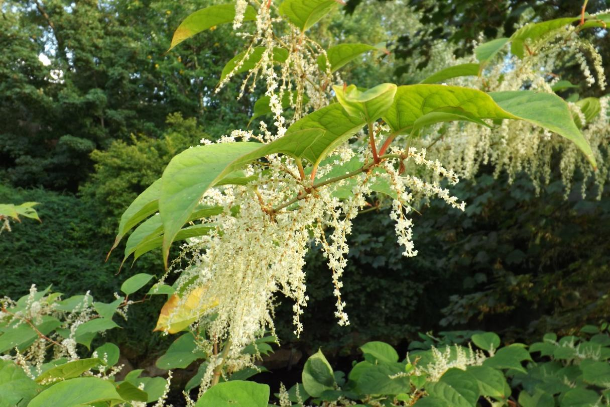 Which of the 3 Knotweed species is said to be most invasive and problematic to control?