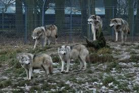 How long will a wolf averagely live in captivity? years months days hours?