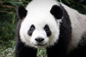 What percent of a pandas diet is bamboo? (Do not include percent sign)