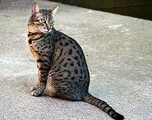 "This elegant breed has the Egyptian word for ""meow"" in its name! It is also considered the fastest domestic cat breed."
