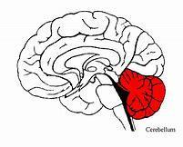 What is the function of cerebellum (easy)?