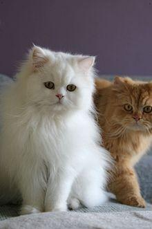This is the most popular breed in the U.S. so you better know it! These cats have a luxurious, silky coat.