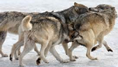 Are these wolves hunting, playing or travelling