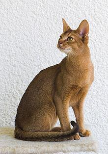 I am a breed of short haired domestic cats, with a tabby coat full of different colored strands of fur. I was first though to have originated from Abyssinia (now called Ethiopia), but New research shows I may have had originated by the Egyptian Coast. What Cat Breed am I?