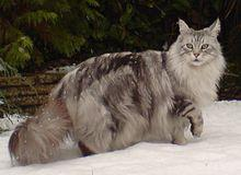 "Easy one for starters! This is the biggest of all domestic cats, a stocky, well-built breed, with a trademark tabby ""M"" on their heads!"