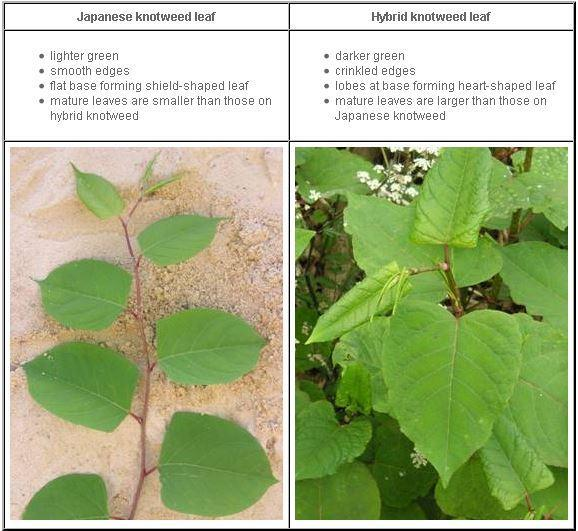 Which of the two Knotweed plant species can produce a hybrid?