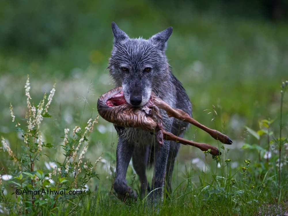 If you saw a wolf steal your catch for the pack, how do you react?