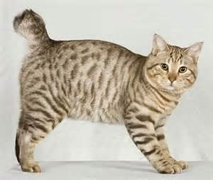 I am a sturdy, rugged-looking breed. I am a medium to large cat, with a short to dense coat. I originated in the late 1960's. What cat breed am I?