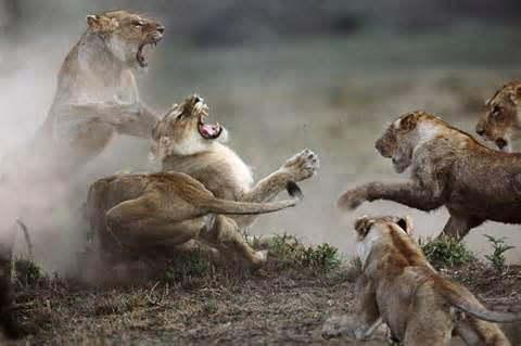 If you seen a large pride of lions fighting for territory and one of them was heading for you, How would you react?