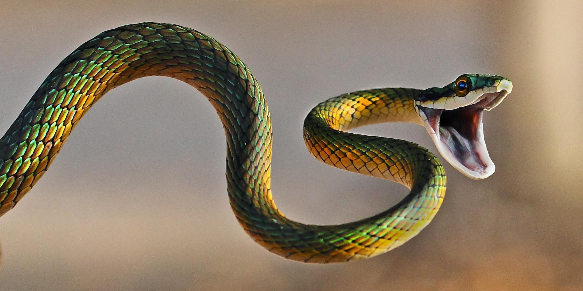 How many species of snakes are venomous?
