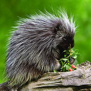 What is a group of porcupines called?