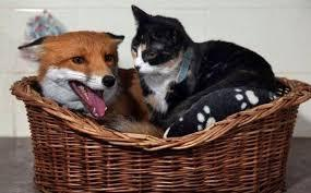 Are foxes like felines?