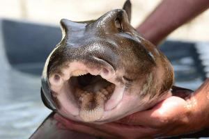 Which continent do port jackson sharks live in?