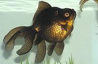The Black Moore is a goldfish.