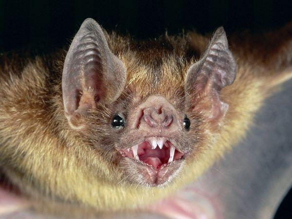 True or False? Vampire bats feed on blood ONLY
