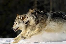 A wolf pack is chasing you what would you do?