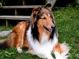 When you are on your way to the shop you see a bunch of people around a car. You see a lovely collie dog injured and whimpering. The family who own it are saying is anybody here a doctor. You studied vetinary in college. What do you do?