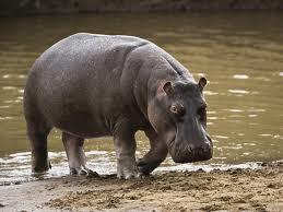 how fast can a hippo run?