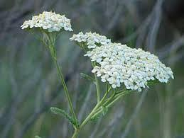 Yarrow and ____ work in the same way to expel poison.