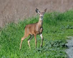 Last Question. If you were a deer, and you saw a puma what would you do?