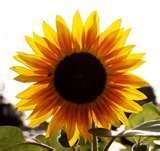If you related your eyes to a sunflower, how would you describe them?