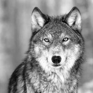 Do you like wolfs?