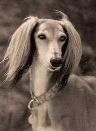 A rich woman  brings in her 8 years old saluki, Darcy. She tells you to look after her darling dog for a month. But sadly, one day Darcy passed away, she died of old age. How do you break it to the woman?