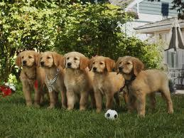 What kind of retriever are the AIR BUDDIES?