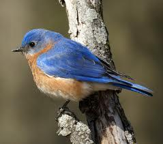 Bluebirds cannot see what color?